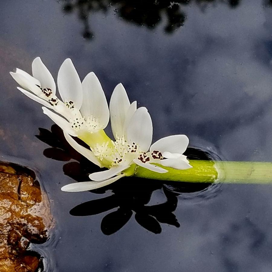 15-water flower 1_143749