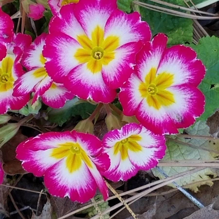 17-pink primrose_120643