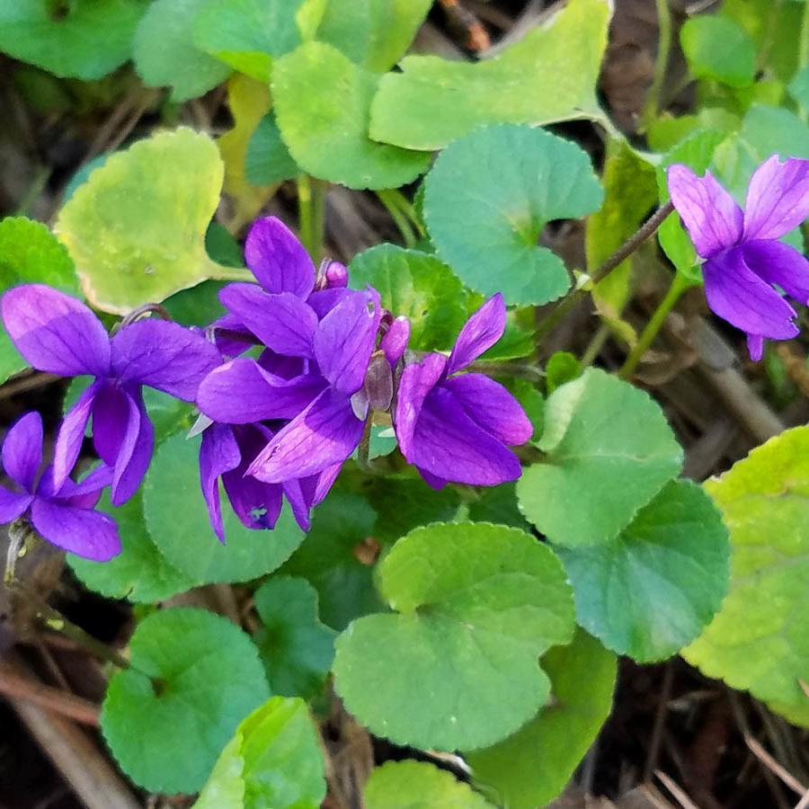 2-violets_160540