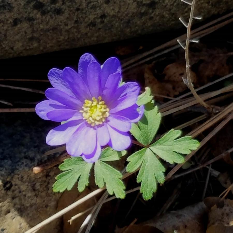 9-Anemone Windflower